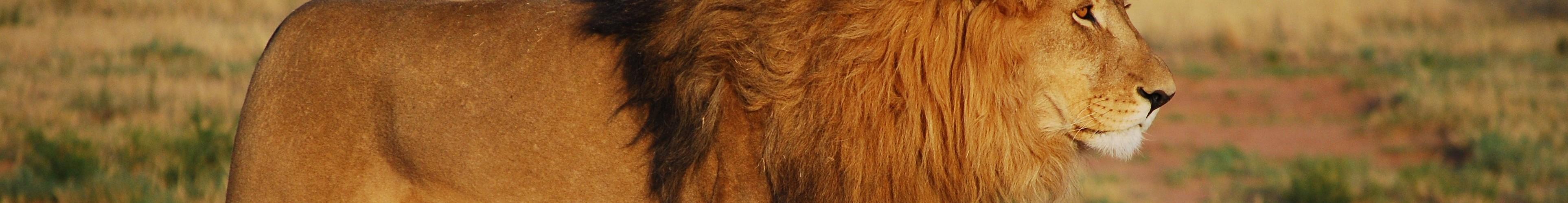 mb Löwe Selbstbewusstsein